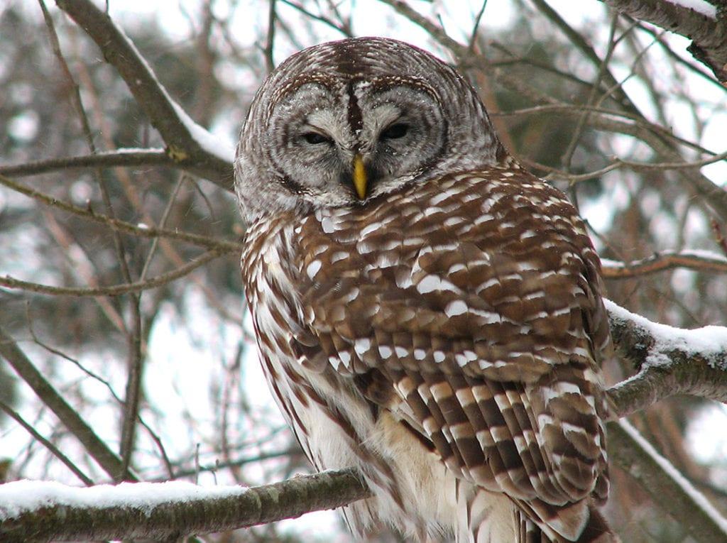 101519-Barred_owl.jpg